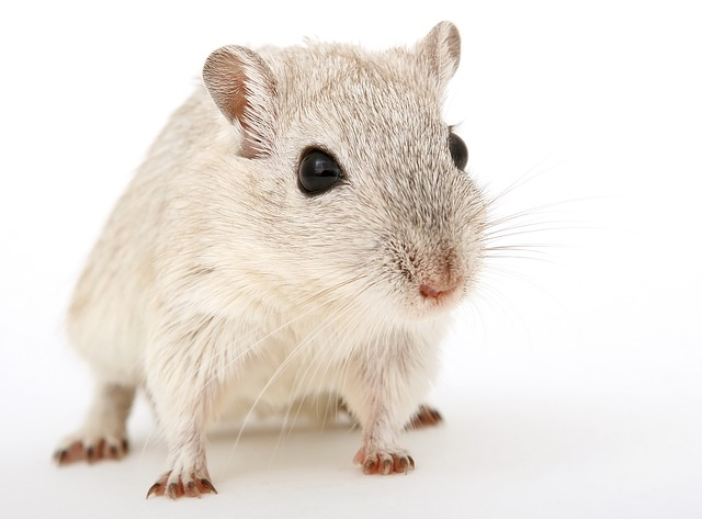 světlá myš.jpg